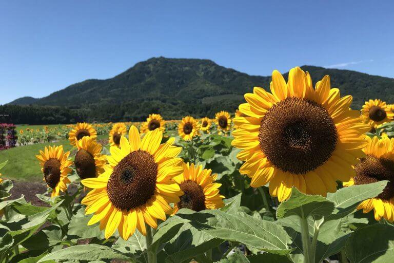 新潟市西蒲区「上堰潟公園」のヒマワリがきれい!見事に咲き誇っていました(8/11撮影)