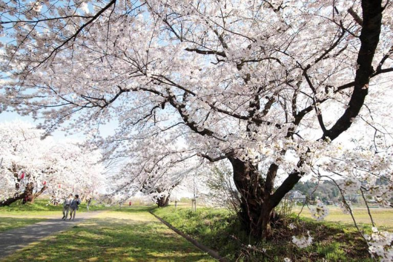 【2021年版】新潟のお花見スポット64選 桜の名所 定番&穴場の画像11