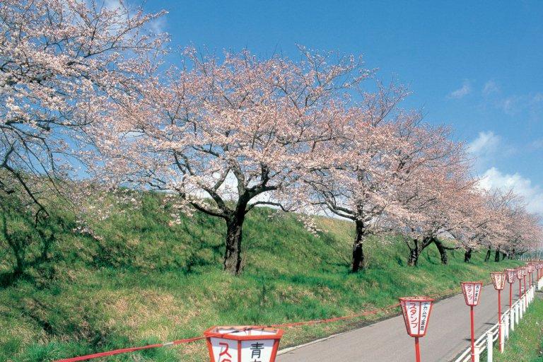 【2021年版】新潟のお花見スポット64選 桜の名所 定番&穴場の画像12