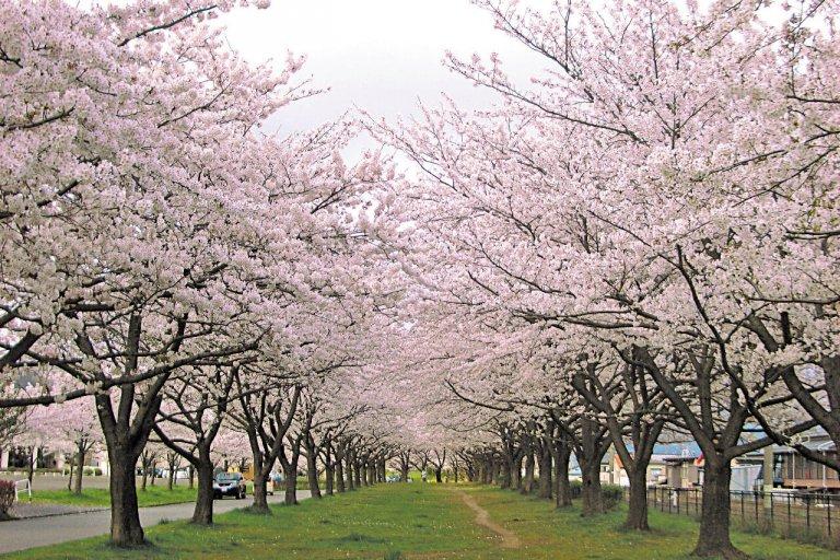 【2021年版】新潟のお花見スポット64選 桜の名所 定番&穴場の画像16