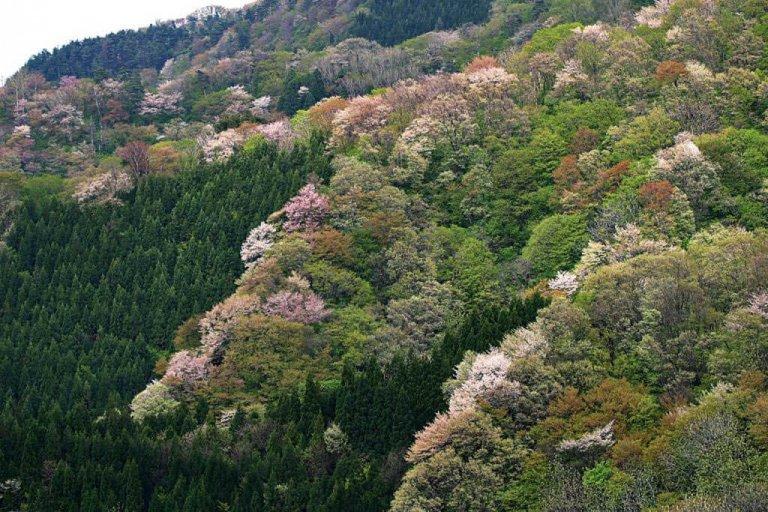 【2021年版】新潟のお花見スポット64選 桜の名所 定番&穴場の画像17