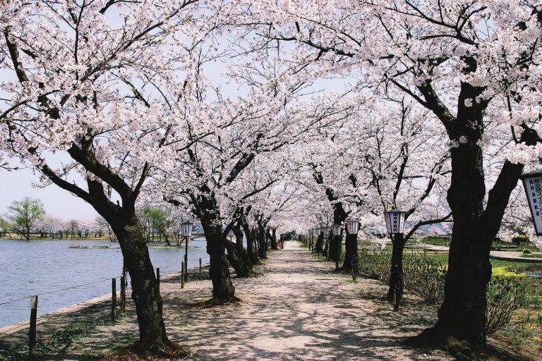 【2021年版】新潟のお花見スポット64選 桜の名所 定番&穴場の画像20