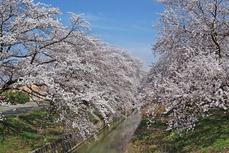 【2021年版】新潟のお花見スポット64選 桜の名所 定番&穴場の画像22