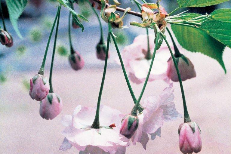 【2021年版】新潟のお花見スポット64選 桜の名所 定番&穴場の画像24