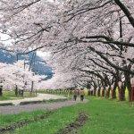 【2021年版】新潟のお花見スポット64選 桜の名所 定番&穴場の画像25