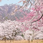 【2021年版】新潟のお花見スポット64選 桜の名所 定番&穴場の画像29