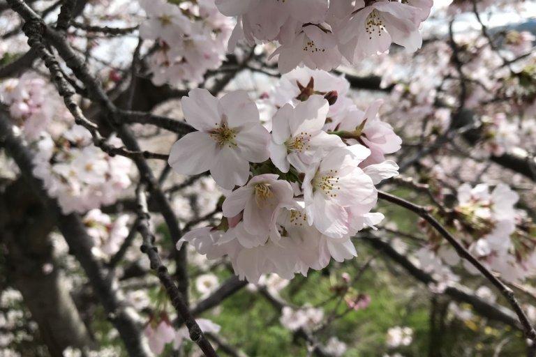 【3/29更新】桜開花!! 新潟市中央区・鳥屋野潟エリア 桜の開花状況〈満開まで平日毎日フォロー〉
