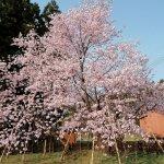 【2021年版】新潟のお花見スポット64選 桜の名所 定番&穴場の画像31