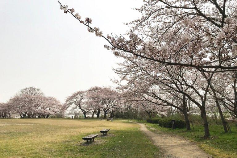 【3/30更新】新潟市中央区・鳥屋野潟エリア 桜の開花状況〈満開まで平日毎日フォロー〉