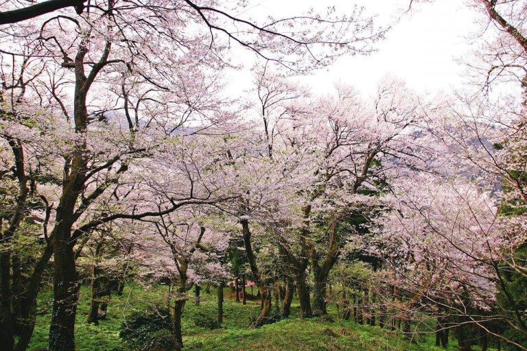 【2021年版】新潟のお花見スポット64選 桜の名所 定番&穴場の画像34