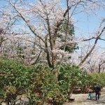 【2021年版】新潟のお花見スポット64選 桜の名所 定番&穴場の画像35
