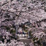 【2021年版】新潟のお花見スポット64選 桜の名所 定番&穴場の画像36