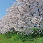 【2021年版】新潟のお花見スポット64選 桜の名所 定番&穴場の画像40