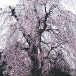 【2021年版】新潟のお花見スポット64選 桜の名所 定番&穴場の画像44