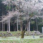 【2021年版】新潟のお花見スポット64選 桜の名所 定番&穴場の画像48