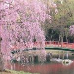 【2021年版】新潟のお花見スポット64選 桜の名所 定番&穴場の画像49