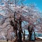 【2021年版】新潟のお花見スポット64選 桜の名所 定番&穴場の画像50