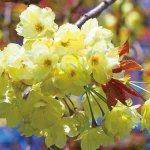 【2021年版】新潟のお花見スポット64選 桜の名所 定番&穴場の画像51