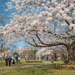 【2021年版】新潟のお花見スポット64選 桜の名所 定番&穴場の画像52