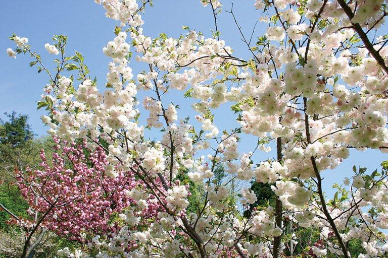 【2021年版】新潟のお花見スポット64選 桜の名所 定番&穴場の画像54