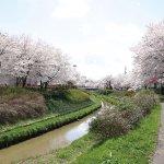 【2021年版】新潟のお花見スポット64選 桜の名所 定番&穴場の画像55