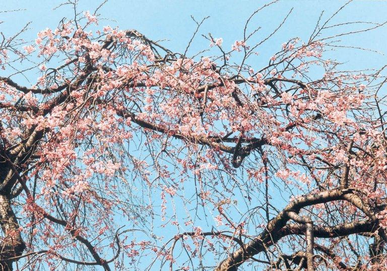 【2021年版】新潟のお花見スポット64選 桜の名所 定番&穴場の画像57