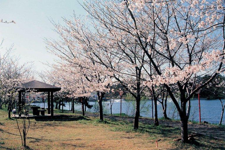 【2021年版】新潟のお花見スポット64選 桜の名所 定番&穴場の画像58