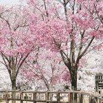 【2021年版】新潟のお花見スポット64選 桜の名所 定番&穴場の画像60