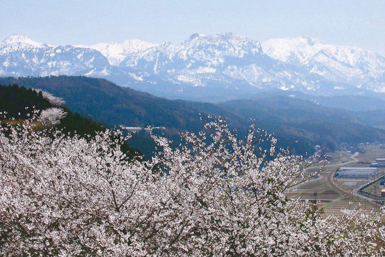 【2021年版】新潟のお花見スポット64選 桜の名所 定番&穴場の画像61