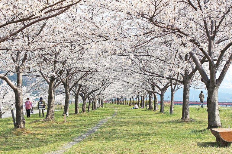 【2021年版】新潟のお花見スポット64選 桜の名所 定番&穴場の画像62
