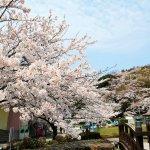 【2021年版】新潟のお花見スポット64選 桜の名所 定番&穴場の画像63