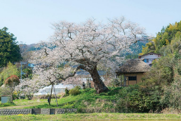 【2021年版】新潟のお花見スポット64選 桜の名所 定番&穴場の画像64
