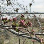 【3/25更新】新潟市中央区・鳥屋野潟エリア 桜の開花状況〈満開まで平日毎日フォロー〉のメイン画像
