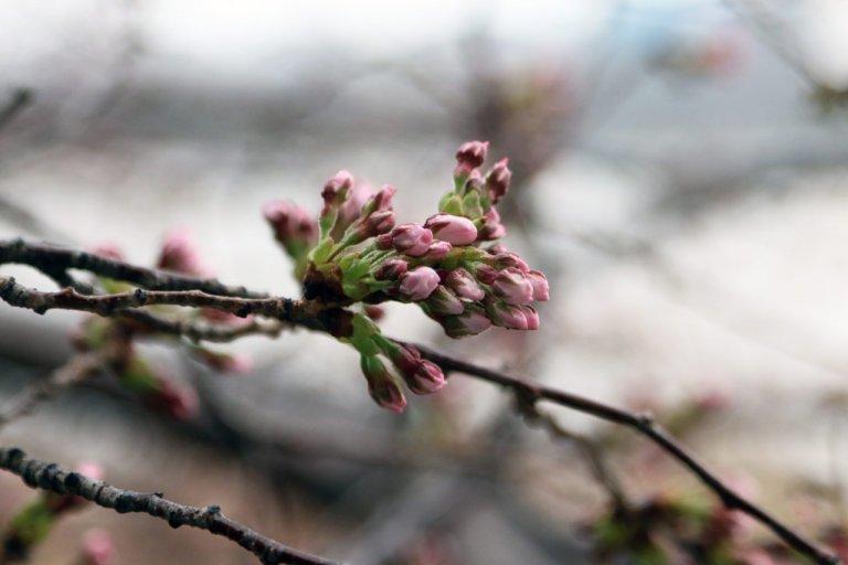 【3/26更新】新潟市中央区・鳥屋野潟エリア 桜の開花状況〈満開まで平日毎日フォロー〉