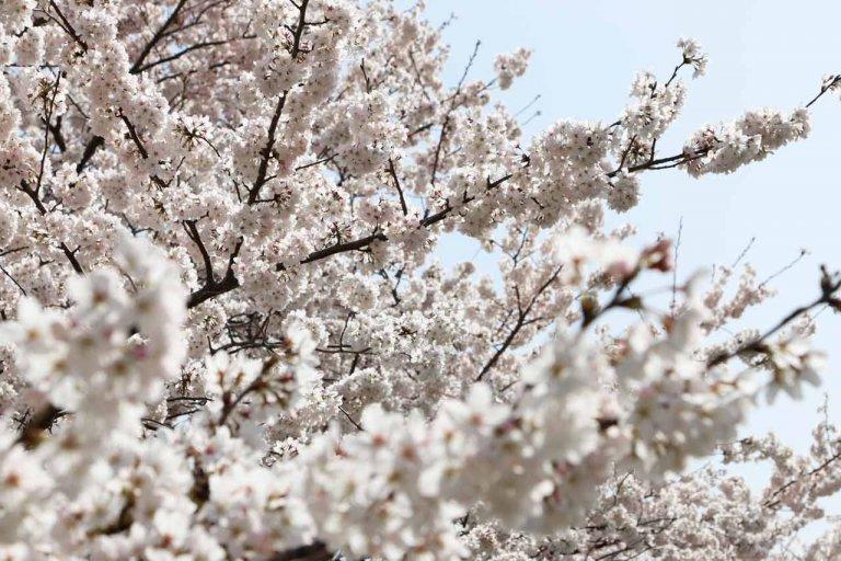 【3/31更新】新潟市中央区・鳥屋野潟エリア 桜の開花状況〈満開まで平日毎日フォロー〉