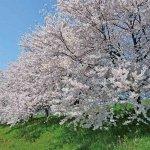 【2021年版】新潟のお花見スポット64選 桜の名所 定番&穴場のメイン画像