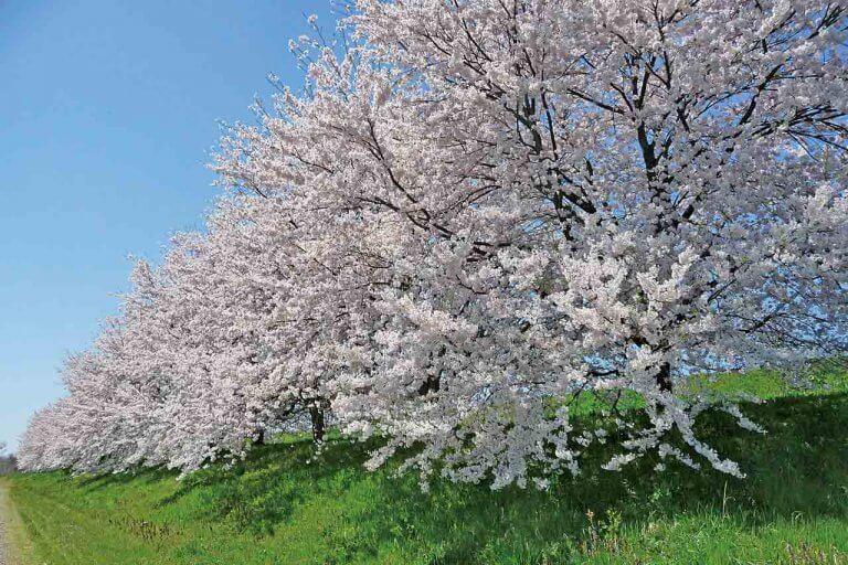 【2021年版】新潟のお花見スポット64選 桜の名所 定番&穴場