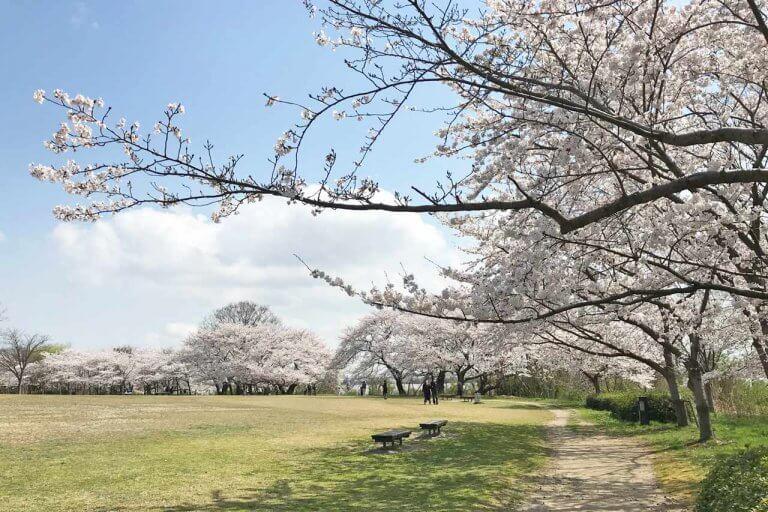 【4/1更新】新潟市中央区・鳥屋野潟エリア 桜の開花状況〈満開まで平日毎日フォロー〉