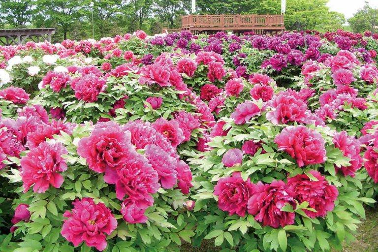 春から初夏の花めぐり。新潟のおすすめ花スポット25選の画像10