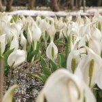 春から初夏の花めぐり。新潟のおすすめ花スポット25選の画像15
