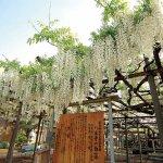 春から初夏の花めぐり。新潟のおすすめ花スポット25選の画像23