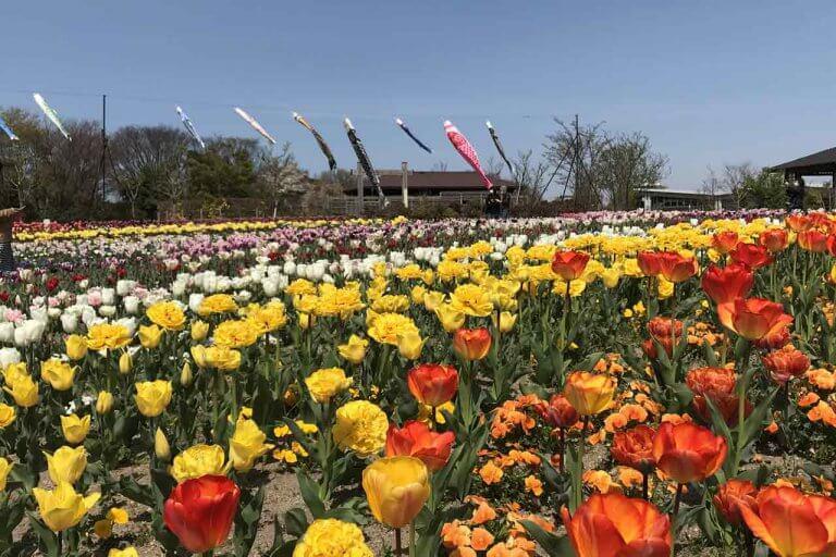 色彩豊か!チューリップが見頃 新潟市・いくとぴあ食花のキラキラガーデン