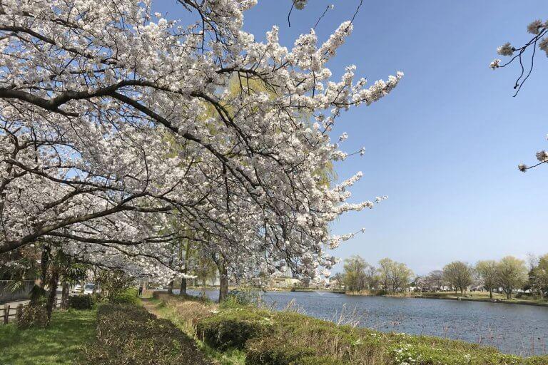 【2021年版】新潟のお花見スポット64選 桜の名所 定番&穴場の画像9