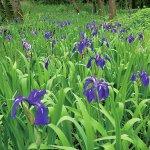 春から初夏の花めぐり。新潟のおすすめ花スポット25選の画像26