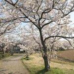 【2021年版】新潟のお花見スポット64選 桜の名所 定番&穴場の画像5