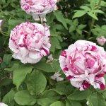 バラが見頃!美しい英国式庭園に癒やされる みつけイングリッシュガーデンの画像8