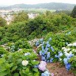 【2021年版】新潟のアジサイ名所6選 田上町ほか 見頃情報もの画像6