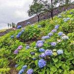 【6/27(日)は入園無料】18000株のアジサイが見頃を迎える「国営越後丘陵公園」でアジサイ・バラ・アサザの花巡りをしてきましたのメイン画像