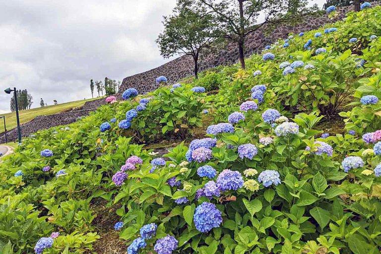 【6/27(日)は入園無料】18000株のアジサイが見頃を迎える「国営越後丘陵公園」でアジサイ・バラ・アサザの花巡りをしてきました