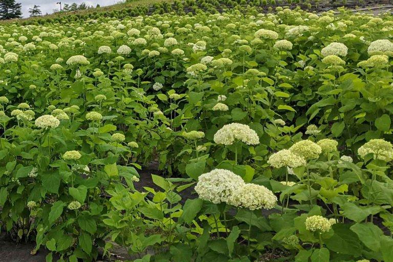 【6/27(日)は入園無料】18000株のアジサイが見頃を迎える「国営越後丘陵公園」でアジサイ・バラ・アサザの花巡りをしてきましたの画像17